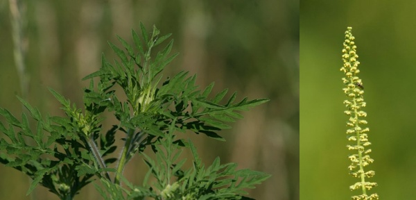 Common ragweed leaves and flower (photos by Chuck Tague)