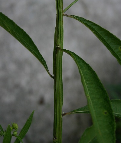 The stem of Wingstem (photo by Kate St. John)