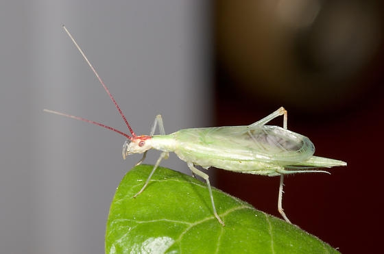 iBroad-winged tree cricket, Oecanthus latipennis (phoito from Wikimedia Commons)