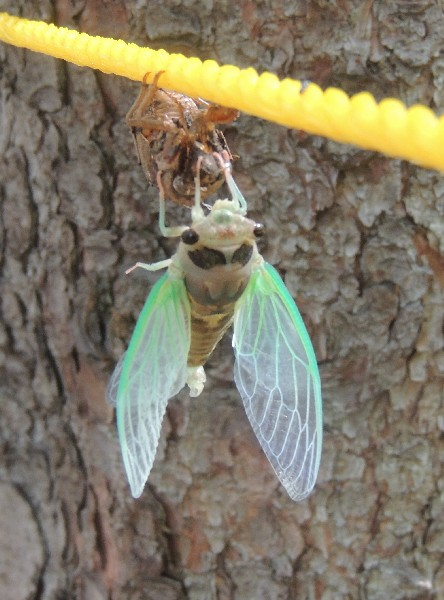 Adult cicada, still soft but wings are bigger (photo by Kim Getz)