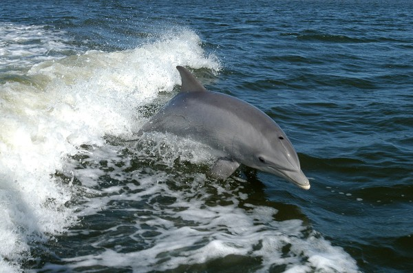 A Bottlenose Dolphin plays in a boat's wake (photo from NASA archive via Wikimedia Commons)