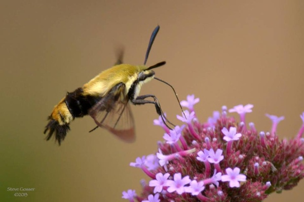 Snowberry clearwing (photo by Steve Gosser)