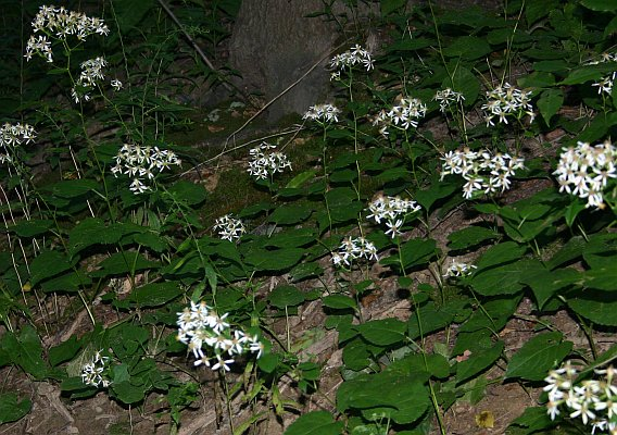 Patch of White wood aster in Schenley Park (photo by Kate St. John)