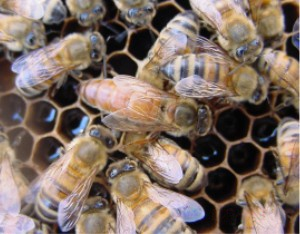 Queen bee and some honey bee workers (photo from Wikimedia Commons)