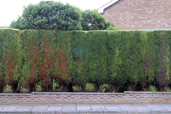 Well-trimmed Leylandii in Chilwell (photo from Wikimedia Commons)