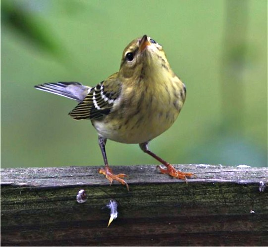 Immature Blackpoll warbler (photo by Marcy Cunkelman)