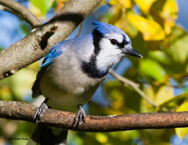 Blue jay (photo by Charlie Hickey)
