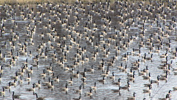 Flock of Canada geese on pond in Ottawa, Canada (photo from Wikimedia Commons)