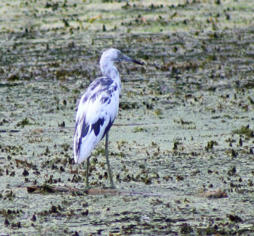 Immature little blue heron with mottled blue and white (photo by Shawn Collins)