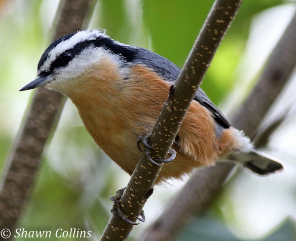 Red-breasted nuthatch (photo by Shawn Collins)