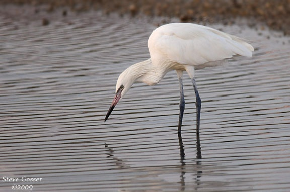 Reddish egret, white morph (photo by Steve Gosser)
