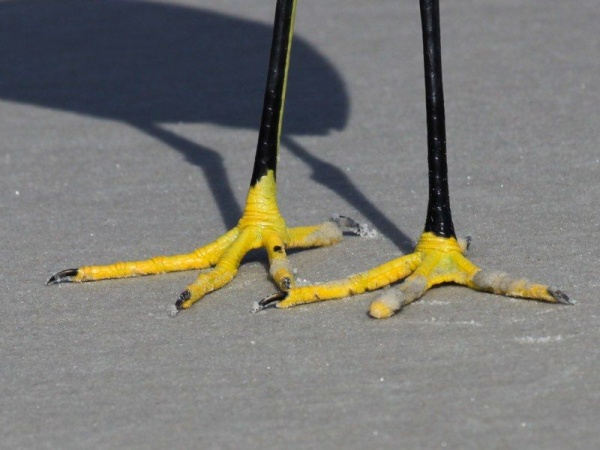 Snowy egret feet (photo by Chuck Tague)