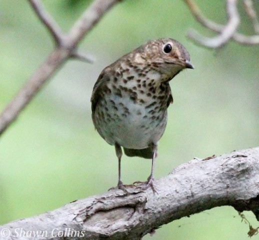Swainson's thrush (photo by Shawn Collins)