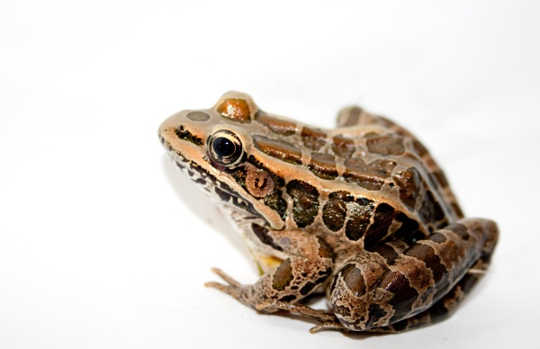 Pickerel frog (photo from Wikimedia Commons)