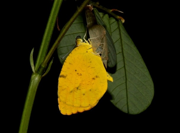Sleepy Orange butterfly eclosing (photo by Chuck Tague)