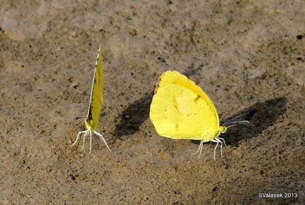 Male Sleepy Orange butterflies in New Mexico (photo by Steve Valasek)