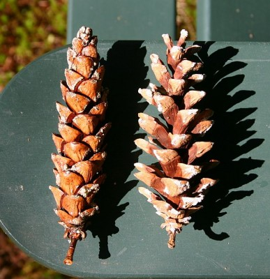 Wet and dry white pine cones side by side (photo by Kate St. John)
