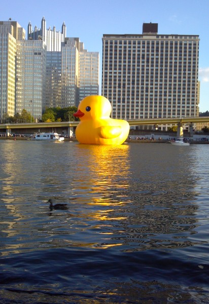 Two ducks on the Allegheny River, mallard and giant rubber ducky (photo by Kate St. John)