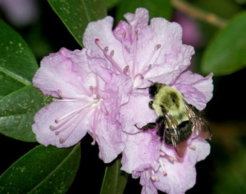 Bumblebee (photo by Marcy Cunkelman)