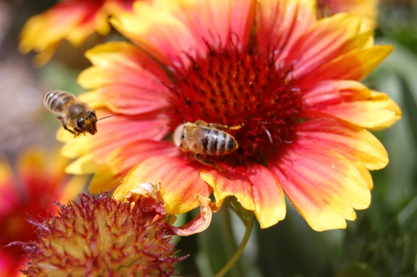 Honey bees on a flower, Slovenia (photo from Wikimedia Commons)
