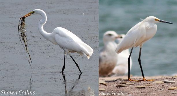 Comparison of great egret and snowy egret (photos by Shawn Collins)