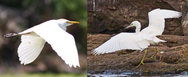 Comparison of catlle egret and little blue heron (photos by Shawn Collins)