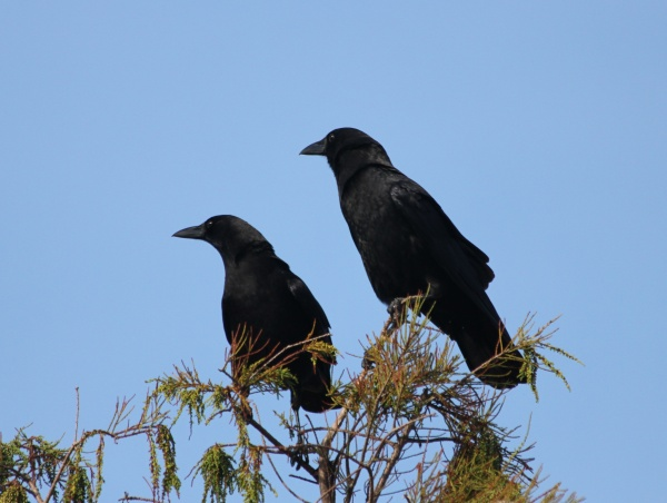 Two American crows ook intently at... (photo from Wikimedia Commons)