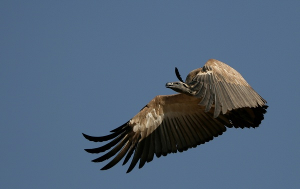 Cape vulture in flight (photo from Wikimedia Commons)