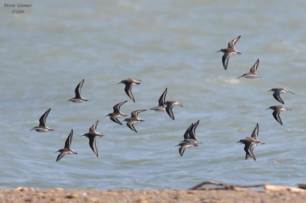 Dunlin at Lake Erie, Presque Isle, PA (photo by Steve Gosser)