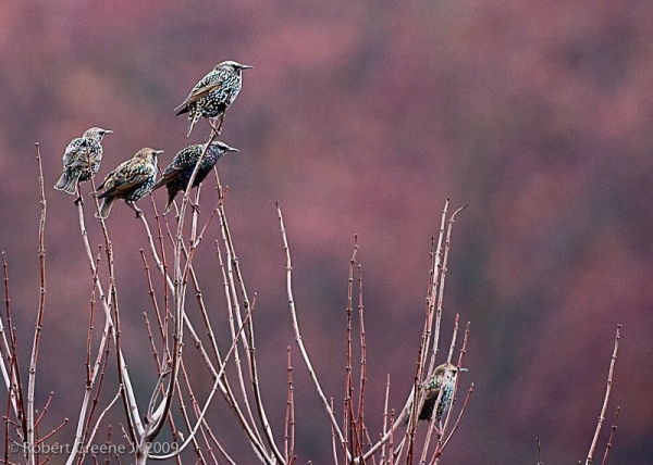 European starlings (photo by Bobby Greene)
