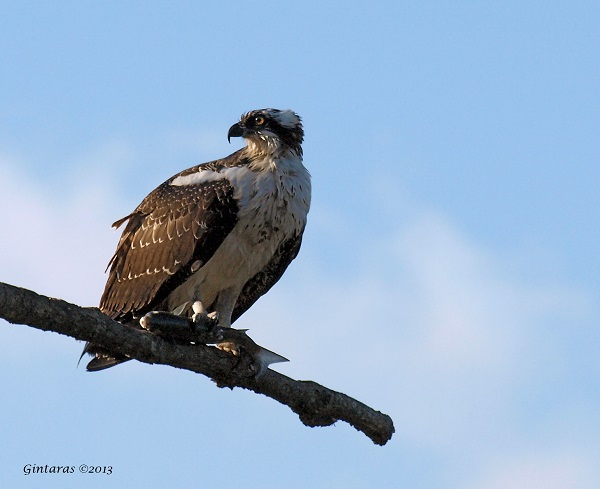 Osprey at Bayswater, NY (photo by Gintaras Baltusis)
