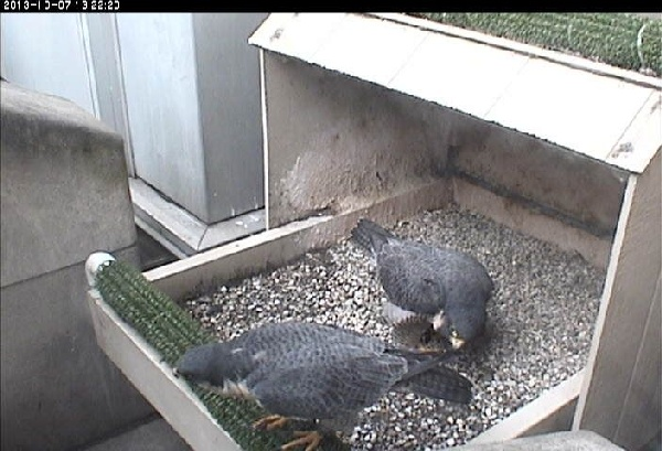Dorothy and E2 at the nest, 7 Oct 2013 (photo from the National Aviary falconcam at Univ of Pittsburgh)