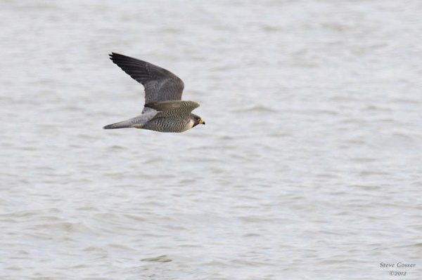 Peregrine falcon at Lake Erie, Presque Isle, PA (photo by Steve Gosser)