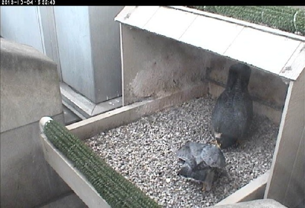 Dorothy and E2 at the nest, 4 Oct 2013 (photo from the National Aviary falconcam at Univ of Pittsburgh)