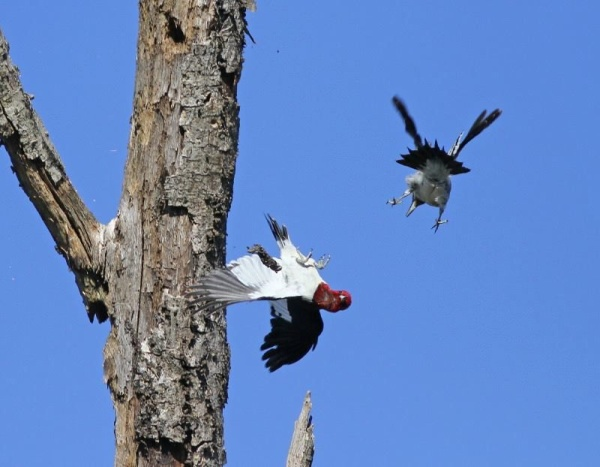 Juvenile red-headed woodpecker attacks an adult (photo by Chris Saladin)