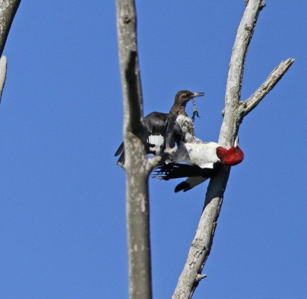 Juvenile and adult Red-headed woodpeckers fighting (photo by Chris Saladin)