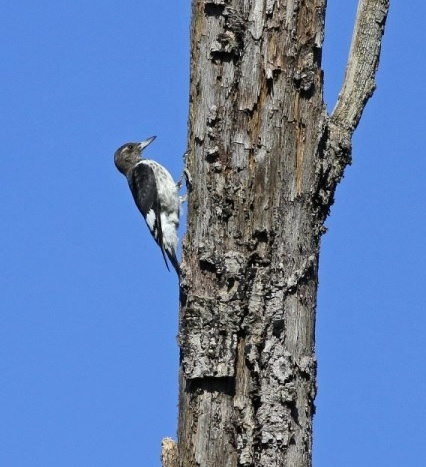 Juvenile red-headed woodpecker (photo by Chris Saladin)
