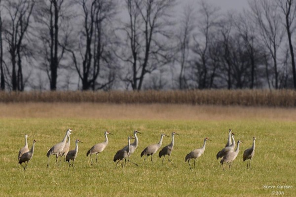 Sandhill cranes in northwest Pennsylvania (photo by Steve Gosser)