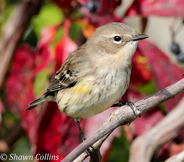 Yellow-rumped warbler, October 2013 (photo by Shawn Collins)