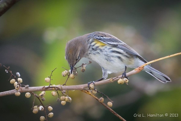 Yellow-rumped warbler eating poison ivy berries (photo by Cris Hamilton)