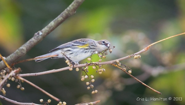 Yellow-rumped warbler about to swallow a poison ivy berry (photo by Cris Hamilton)