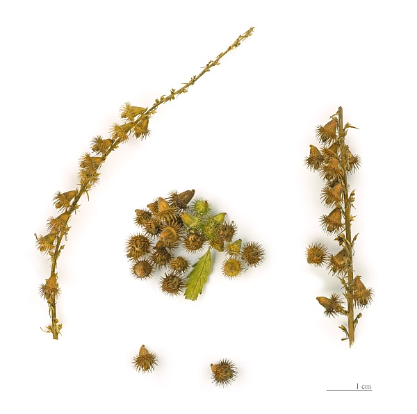 Agrimony seeds, focus stack (Museum of Toulouse via Wikimedia Commons)