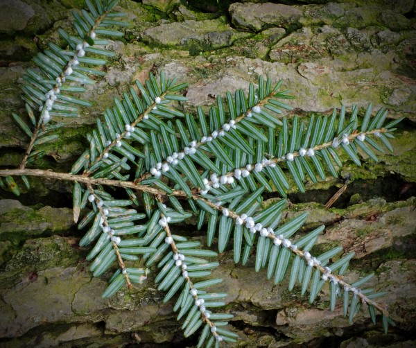 Hemlock woolly adelgid at Jacobsburg (photo by Nicholas A, Tonelli via Wikimedia Commons)