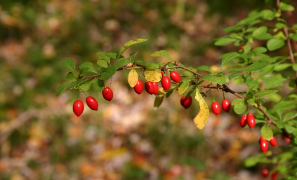 Japanese barberry, Moraine State Park, 20 Oct 2013 (photo by Kate St. John)