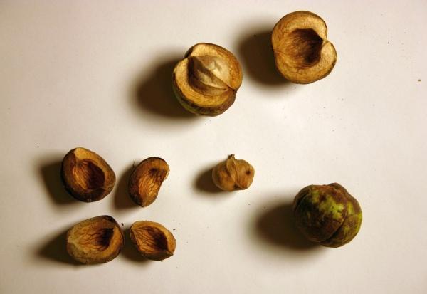 Shagbark hickory nuts (photo by Kate St. John)