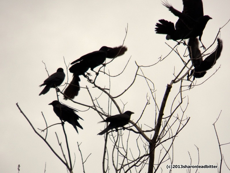 American crows gather in Lawrenceville (photo by Sharon Leadbitter)
