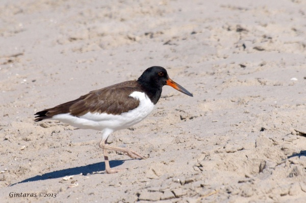 American oystercatcher (photo by Gintaras Baltusis)