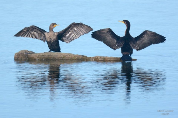 Two double-crested cormorants drying their wings (photo by Steve Gosser)