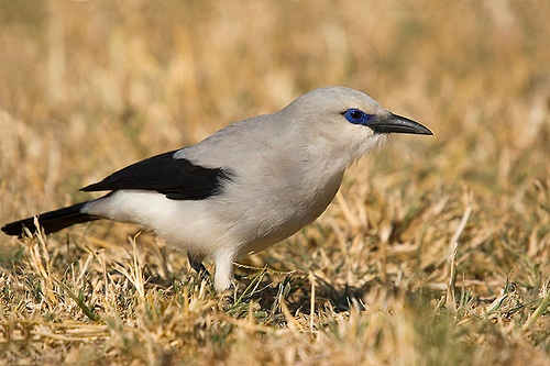 Ethiopian bush crow (photo from Wikimedia Commons)