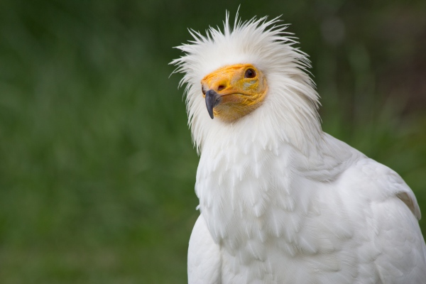 Pharoah's Chicken, Egyptian vulture (photo from Wikimedia Commons)